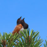 Photo of Eastern Towhee