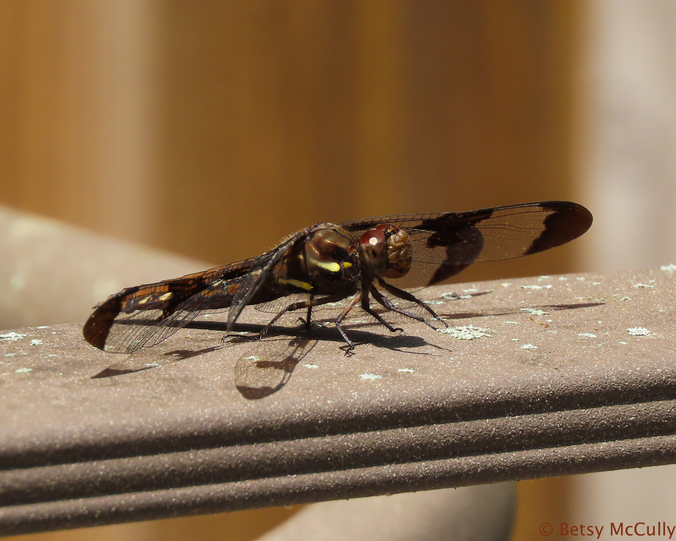 Photo of Whitetail dragonfly