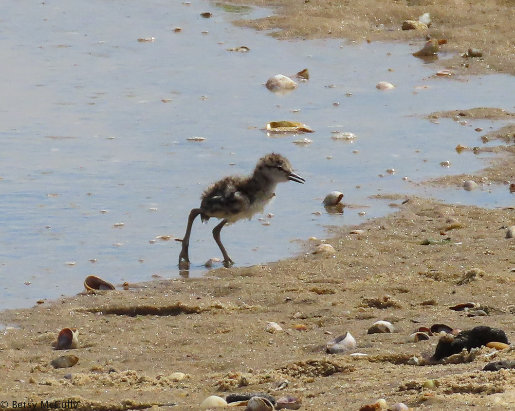 Photo of Willet chick