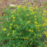 Photo of Yellow Wild Indigo