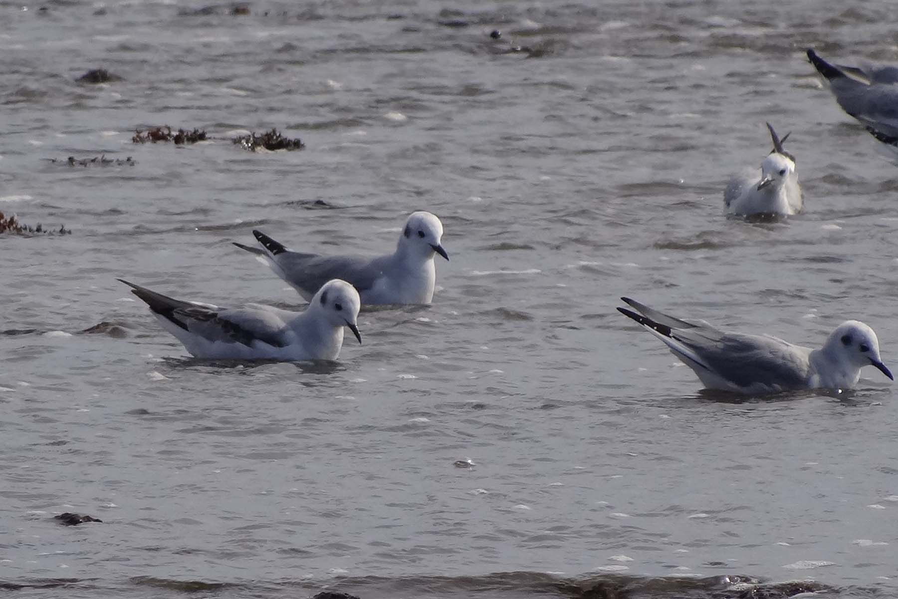 photo of Bonaparte's Gulls