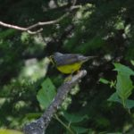 Photo of Canada Warbler