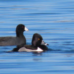 Photo of Ring-necked duck and American Coot