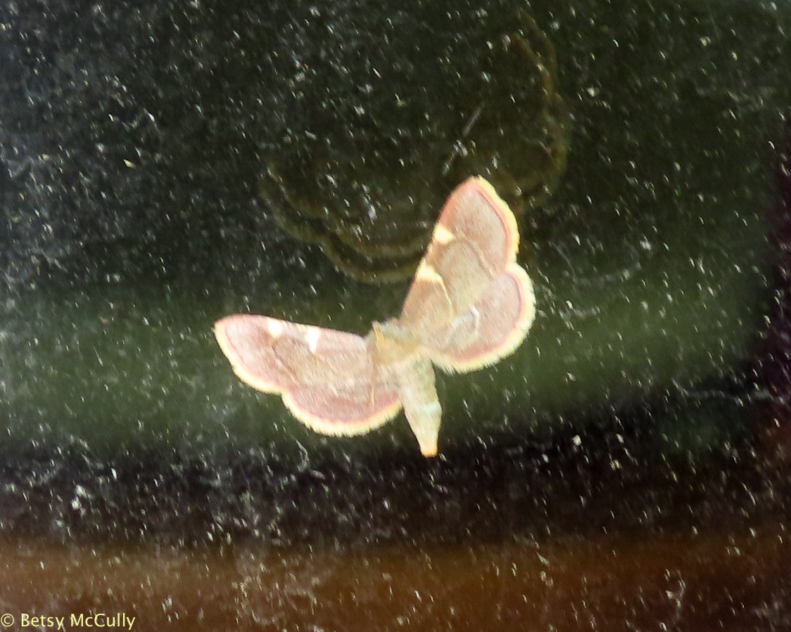 photo of Yellow-fringed Dolichomia moth