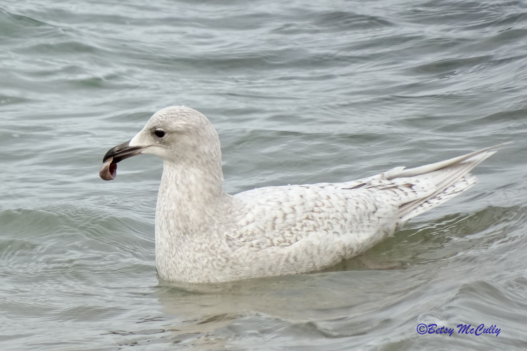 Photo of Iceland Gull in water
