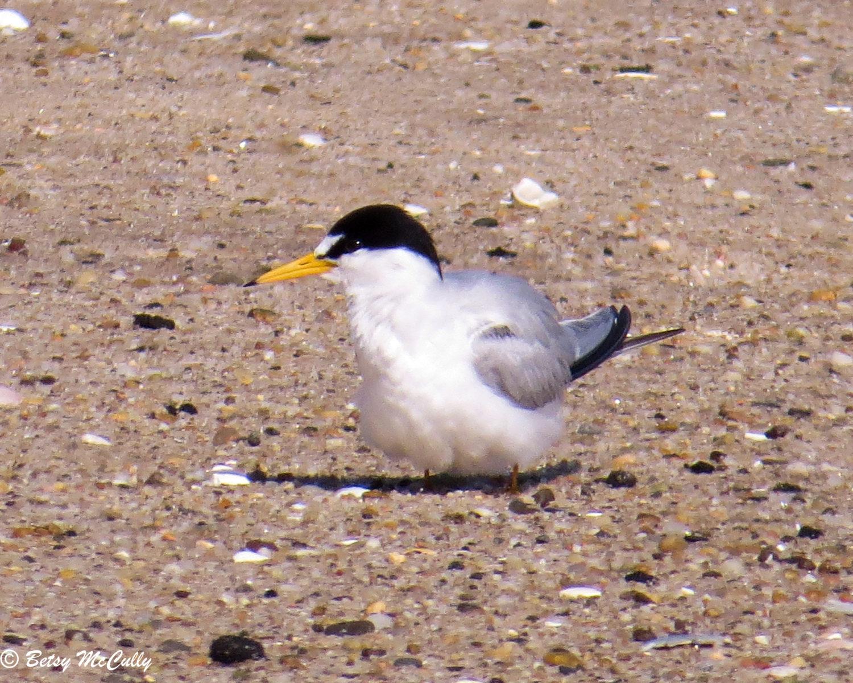 Photo of Least Tern