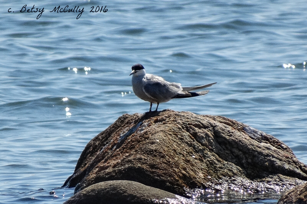 Photo of Roseate Tern