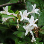 Photo of Swamp Azalea