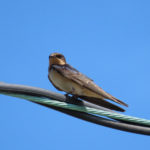 photo of Barn Swallow