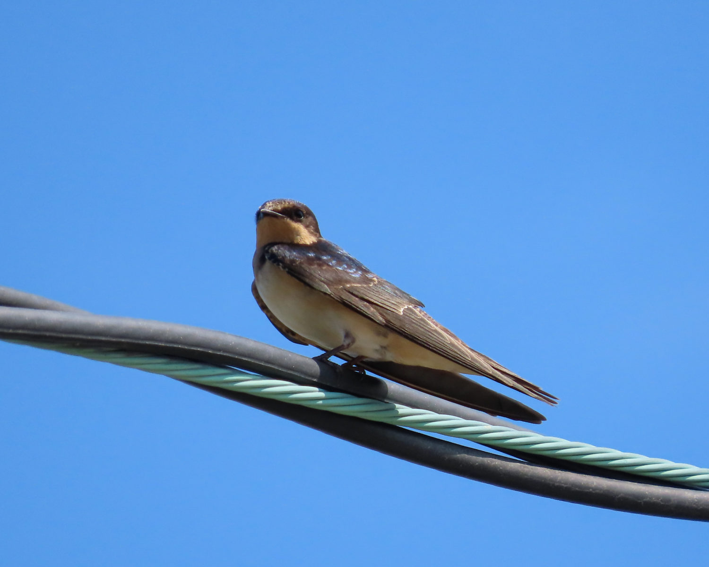 photo of Barn Swallow