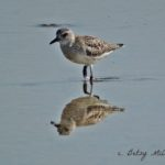 Photo of Black-bellied Plover
