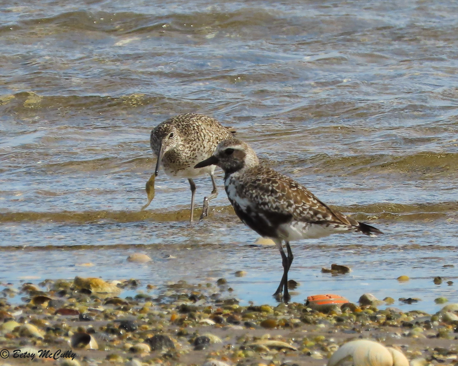 photo of Black-bellied Plovers