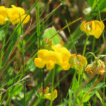 Photo of Bird's-foot-trefoil