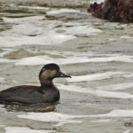 photo of immature Black Scoter