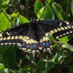 photo of Black Swallowtail