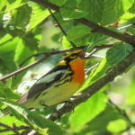 photo of Blackburnian Warbler
