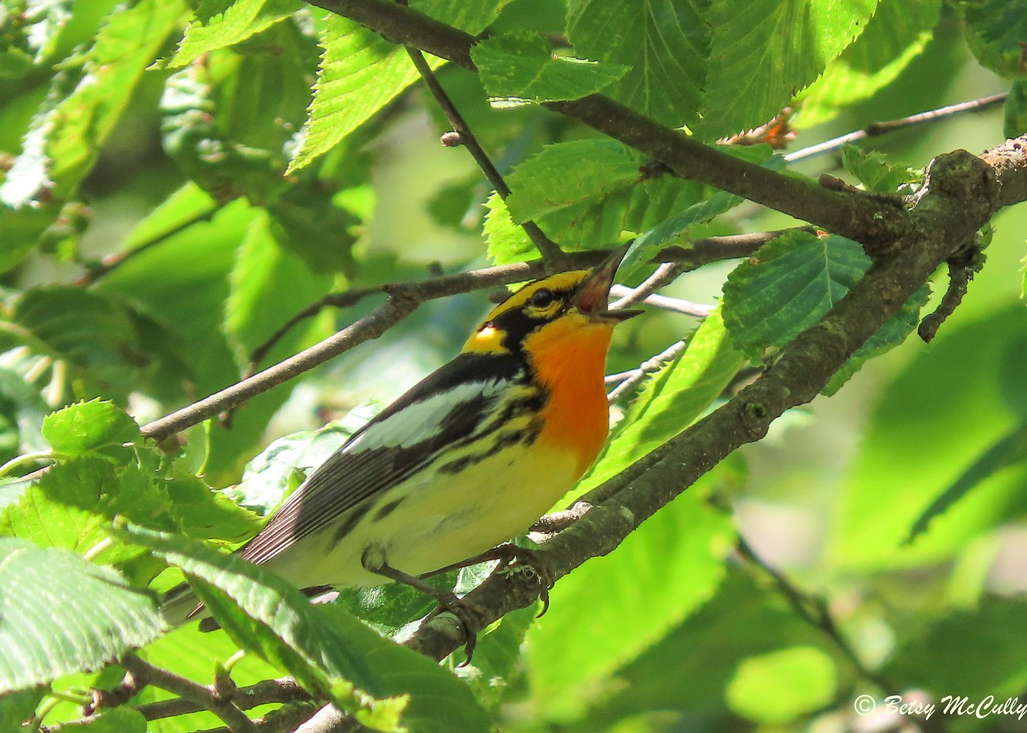 photo of Blackburnian Warbler