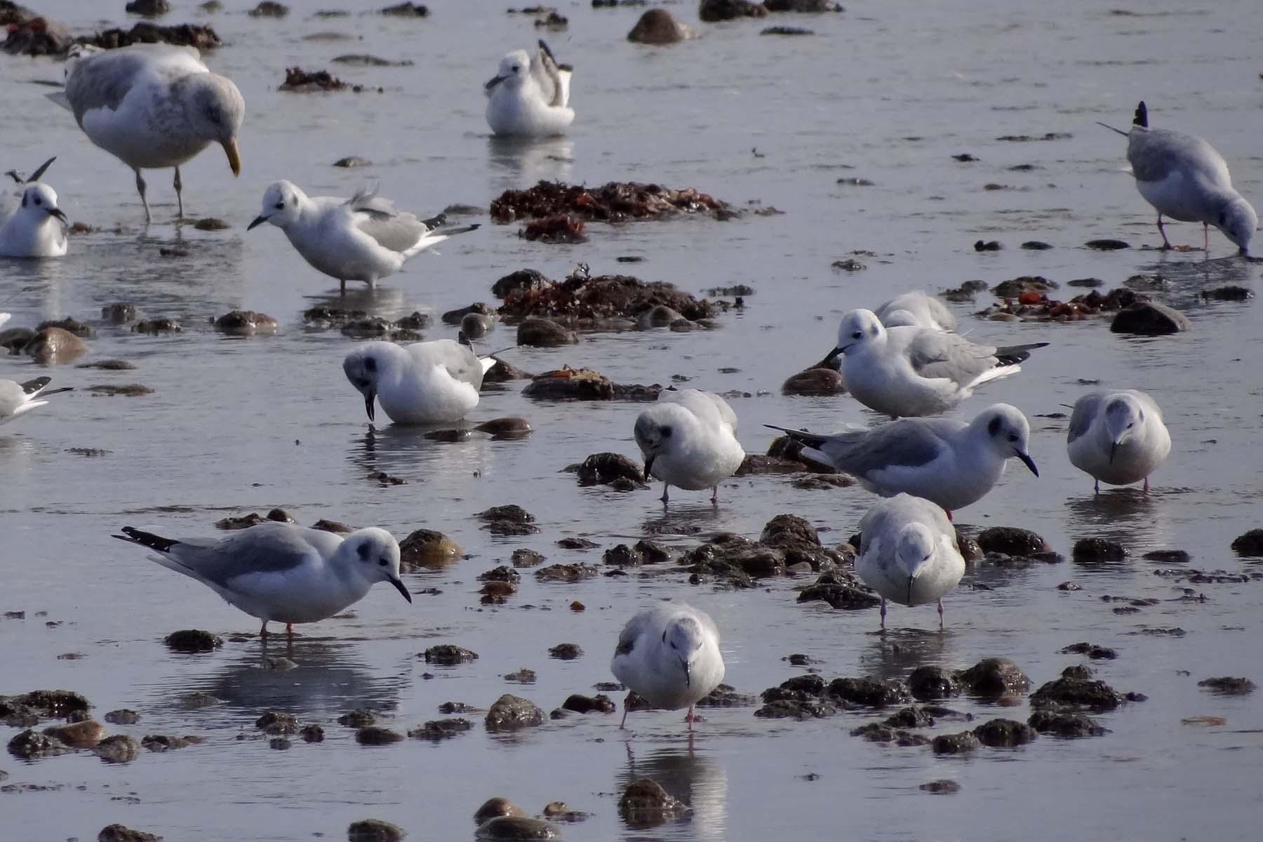 Photo of Bonaparte's Gulls feeding