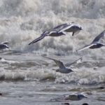Photo of Bonaparte's Gulls