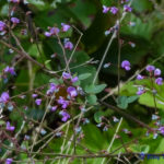photo of Trailing Bush-clover