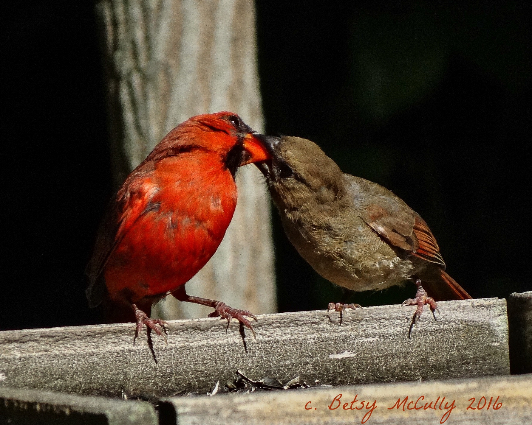 photo of male cardinal feeding juvenile