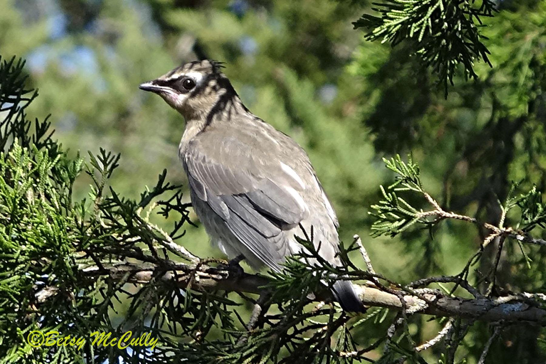photo of juvenile Cedar Waxwing