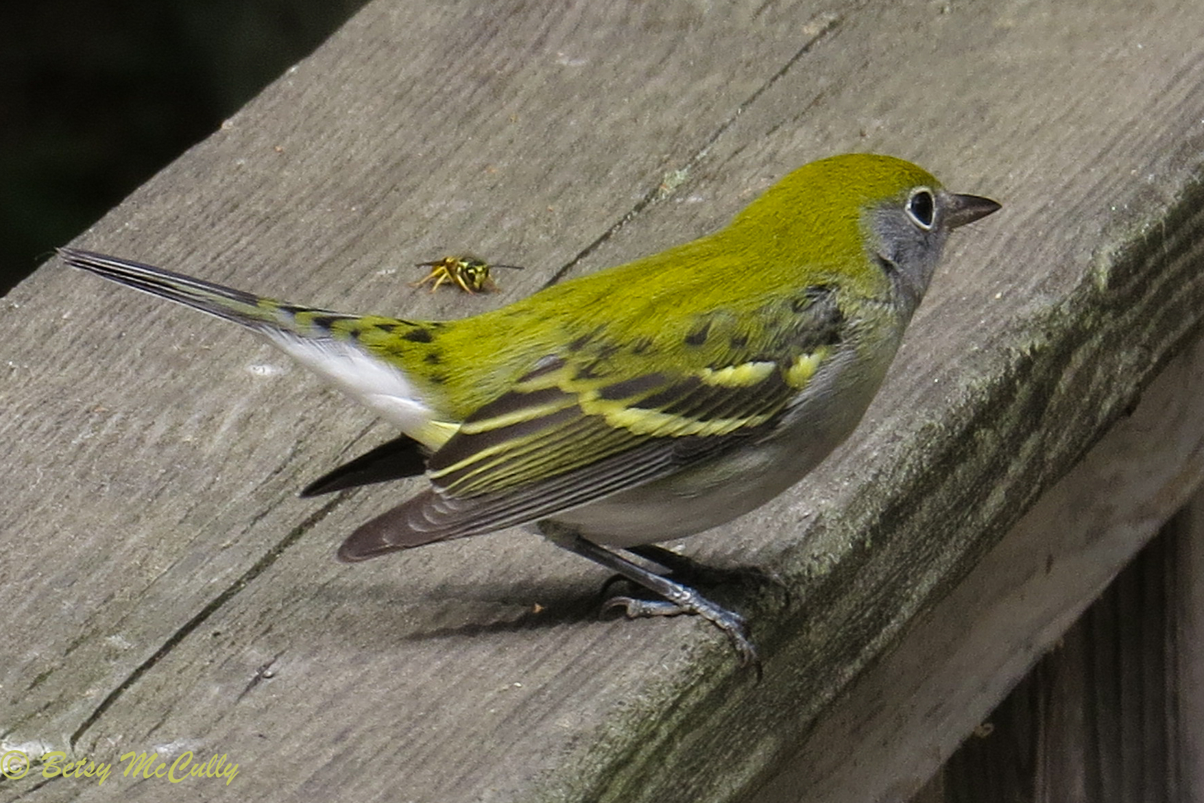 photo of Chestnut-sided Warbler