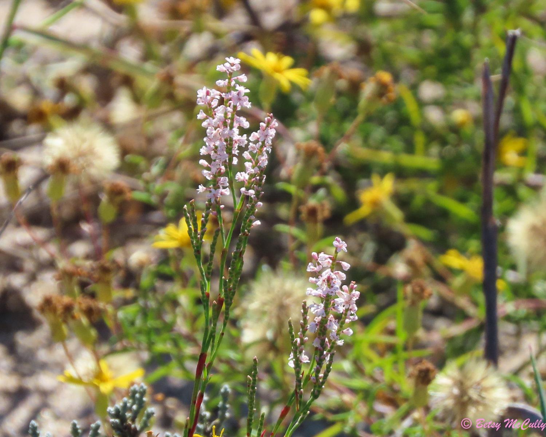 photo of coastal jointed knotweed