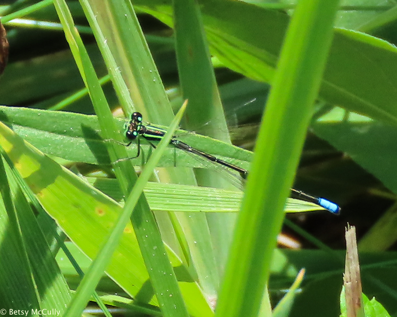 photo of Eastern Forktail male