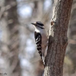 photo of female Downy Woodpecker