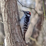 photo of male Downy Woodpecker