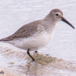 Photo of Dunlin in non-breeding plumage