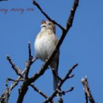photo of Field Sparrow