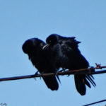 photo of fish crow pair