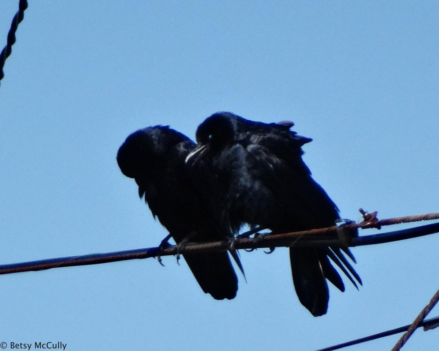 photo of fish crow pair
