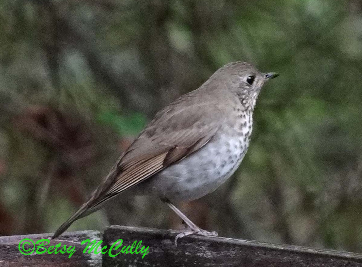 Photo of Gray-cheeked Thrush