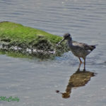 Photo of Greater Yellowlegs