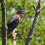 Photo of Green Heron