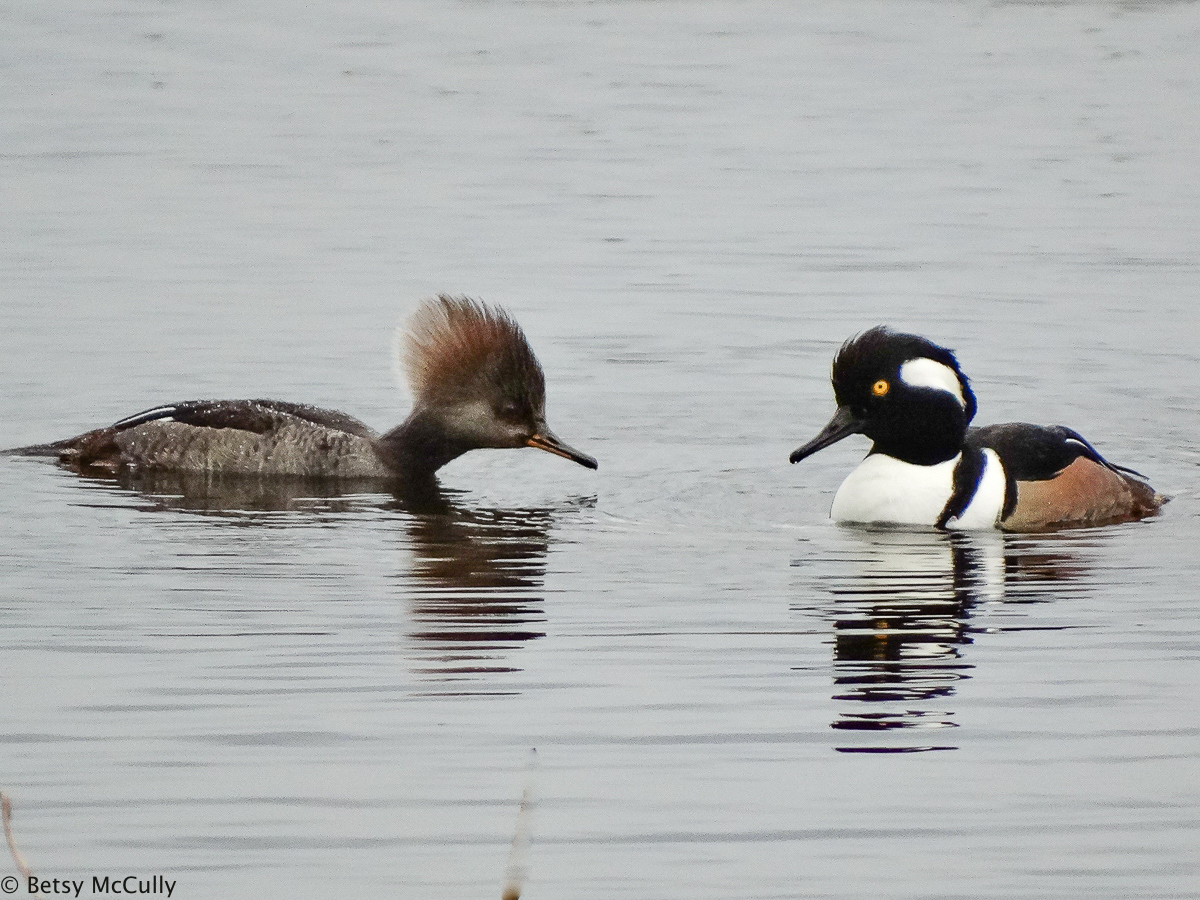 Photo of Hooded Merganser pair