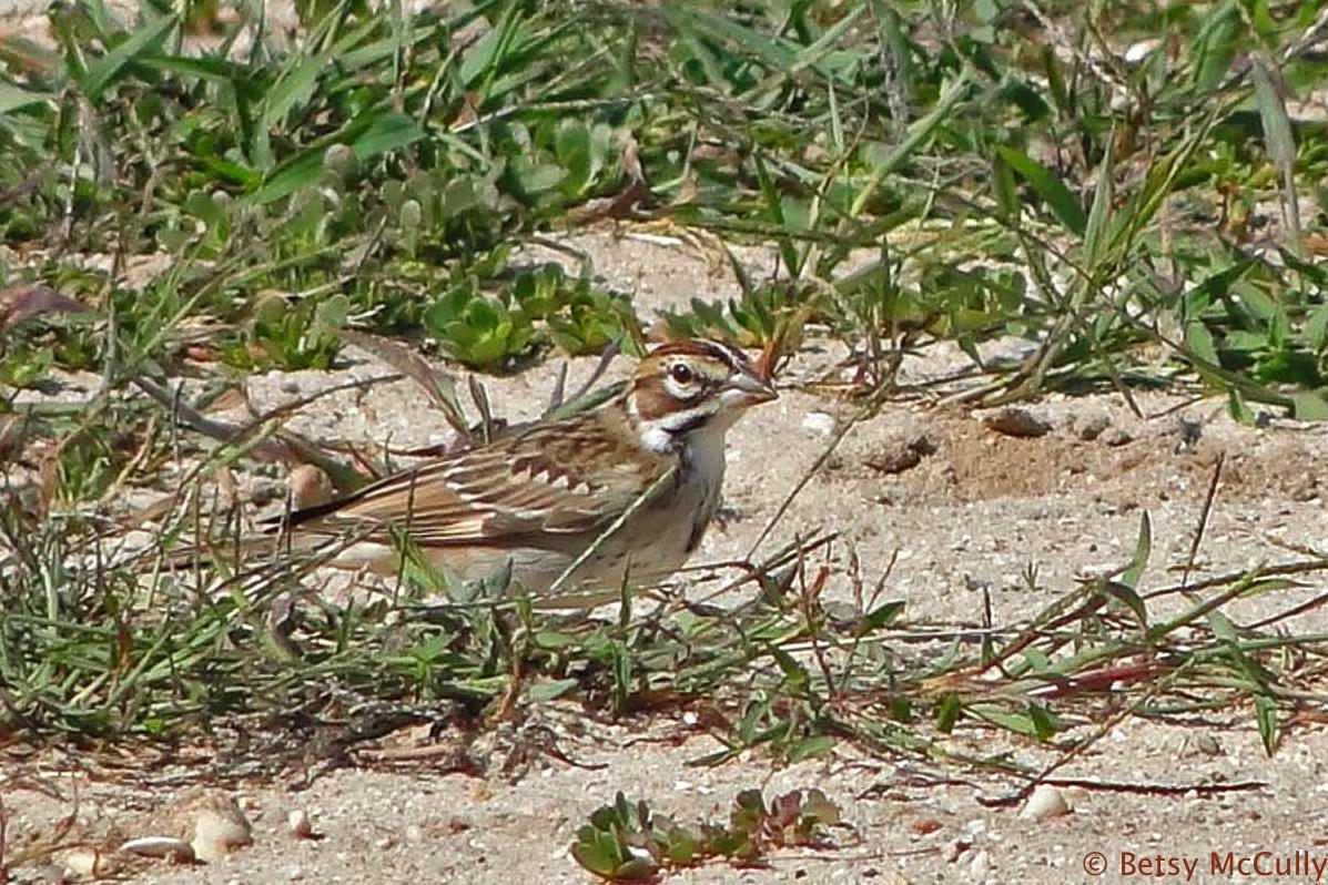 photo of Lark Sparrow