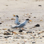 Photo of Least Tern pair