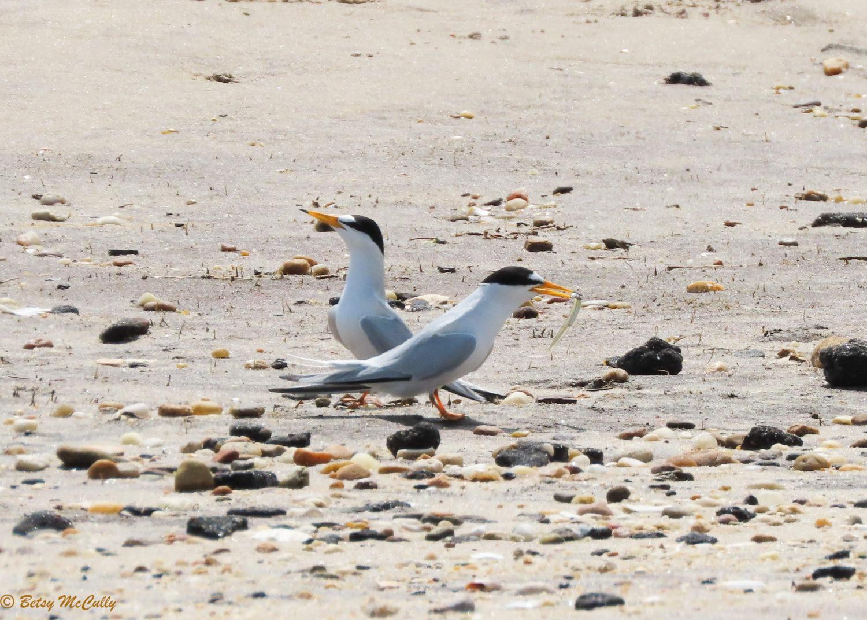 Photo of Least Tern pair