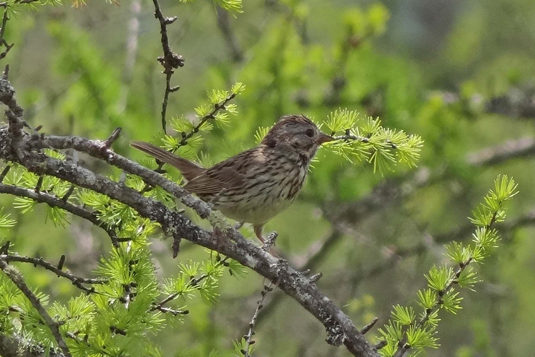 photo of Lincoln's Sparrow