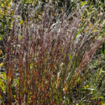 photo of Little Bluestem