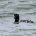 Photo of Common Loon