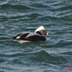 photo of Long-tailed Duck