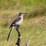 photo of Northern Mockingbird