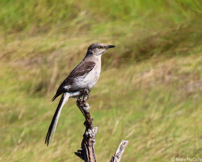 photo of Northern Mockingbird