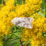 Photo of Rubbed Dart moth