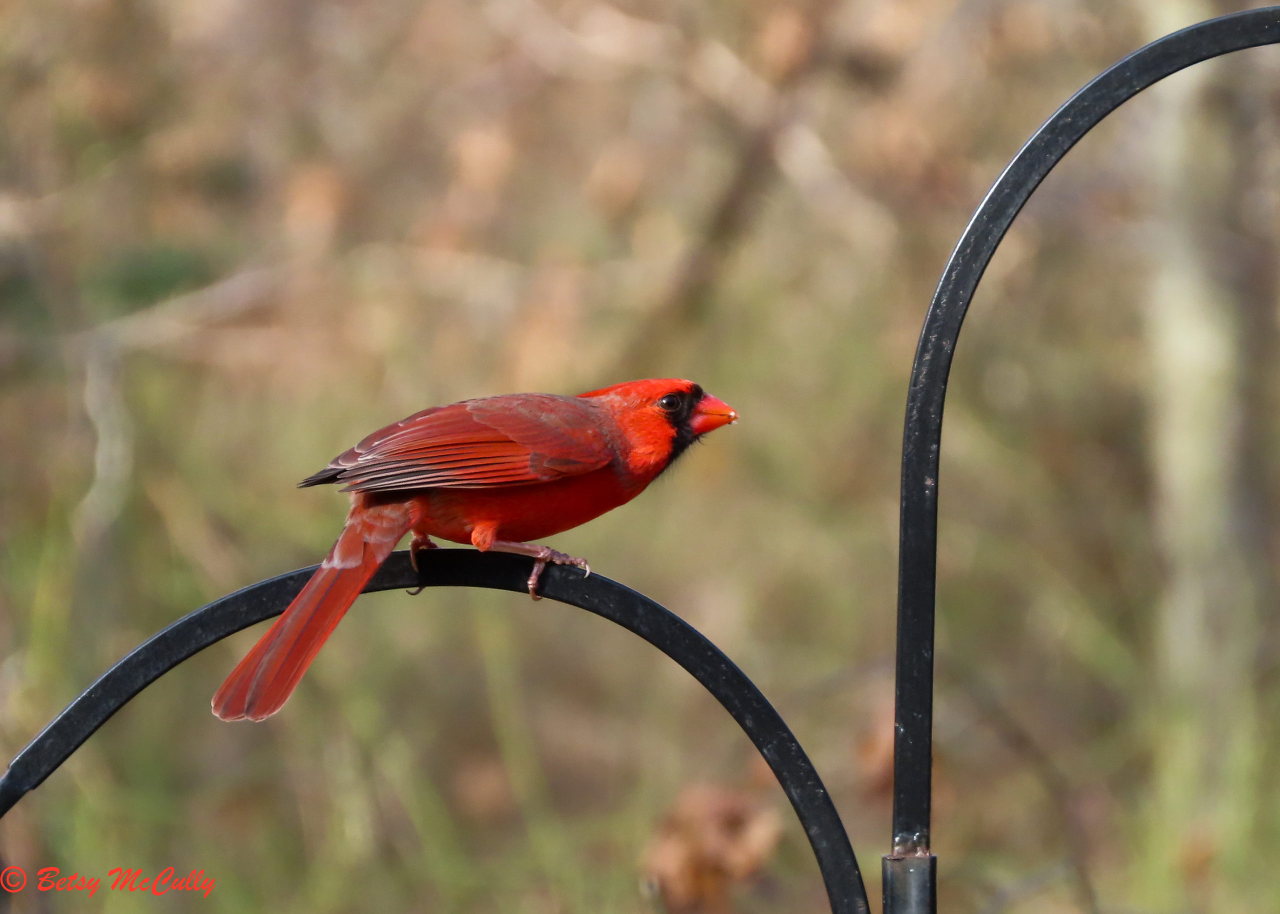 photo of Northern Cardinal male